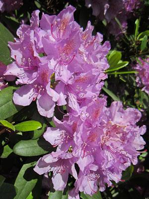Blommor Borlänge Midsommar (1 av 1)