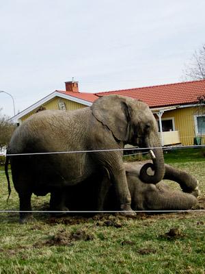 Elefanter (1 av 1)