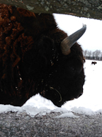 Close-Up Bison