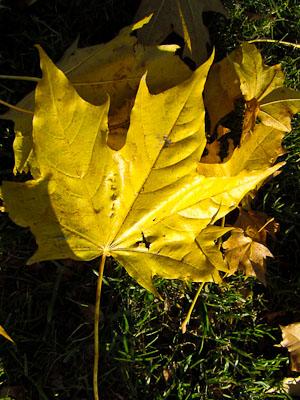 Gult Löv