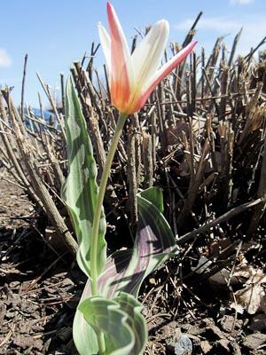 Tulip (1 av 1)