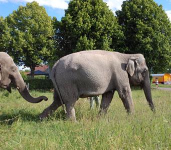 Elephants run away