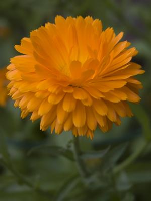 flower_orange
