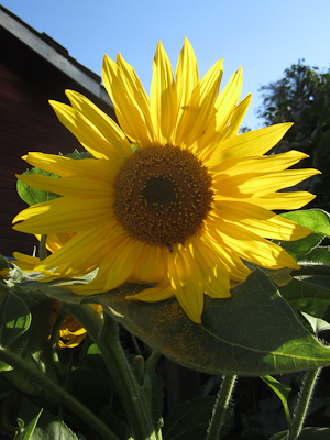 sunflower 2014