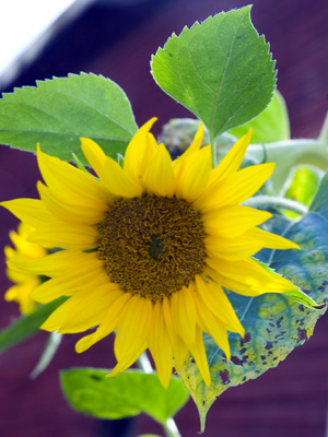 sunflower_2013
