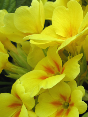 yellow_1724_flowers